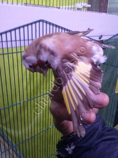 mes femelles brune porteuse de gorge blanche 2013