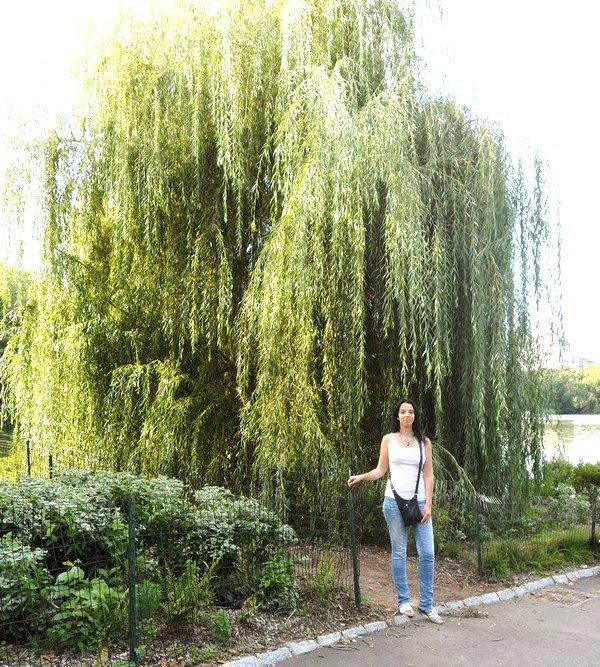 Dimanche: direction Central Park pour voir le Weeping Willow Tree!