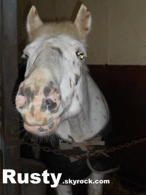 Rusty. Ce petit cheval de cirque avec ses 365 taches.