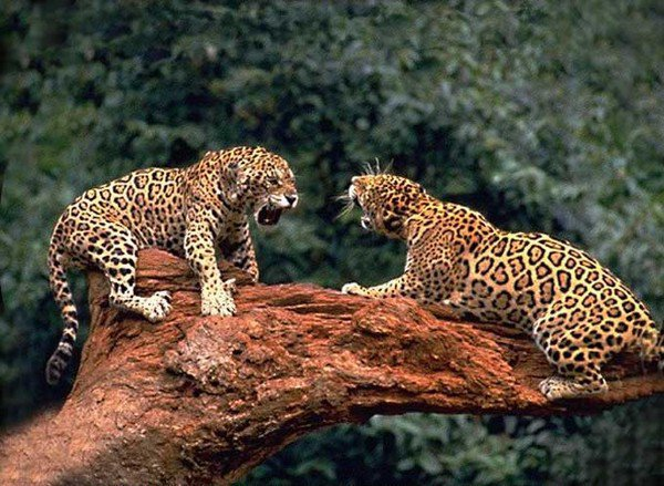 video d 39 un jaguar qui attaque un crocodile cinquantaine harmonie. Black Bedroom Furniture Sets. Home Design Ideas