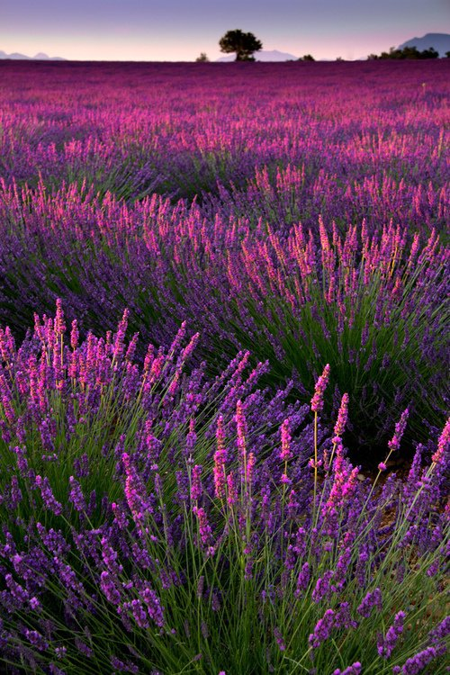 Lavender Crepúsculo, França
