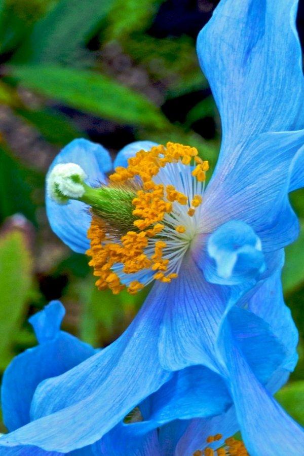 SAGRADO JARDIM, Tibetan blue poppy