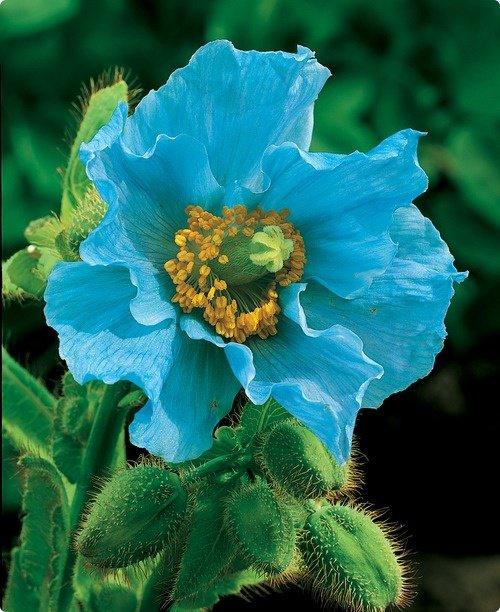 SAGRADO JARDIM Meconopsis - Himalayan Blue Poppy.