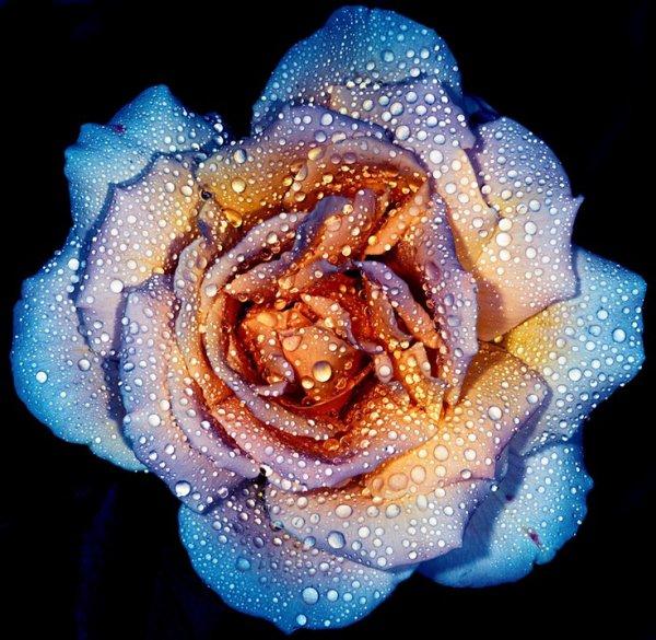 SAGRADO JARDIM Rose by Russ Brown