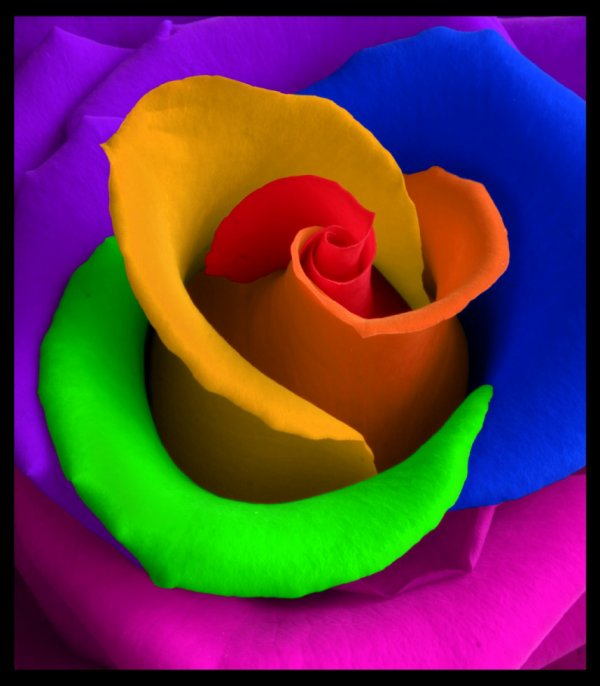 SAGRADO JARDIM, Rosa colorida