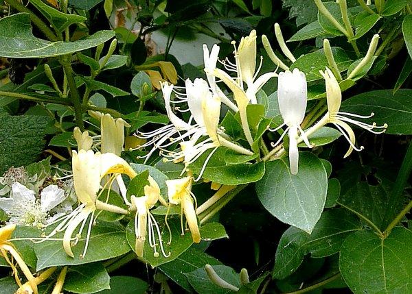 Lonicera japonica 'Halliana'...