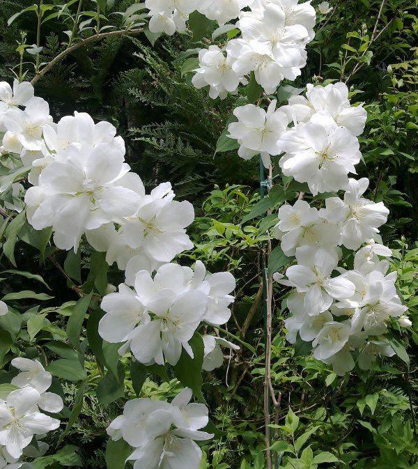 Philadelphus 'White Rock'...
