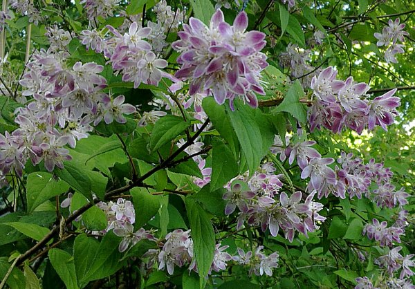 "Deutzia ""Perle Rose"""