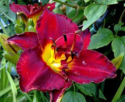 La saison des Hémérocalles (suite n°2 - celles à fleurs doubles)