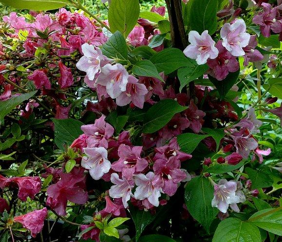 """Une nouvelle petite devinette !!!!... Un Weigela florida """"Giganteiflora""""..."""