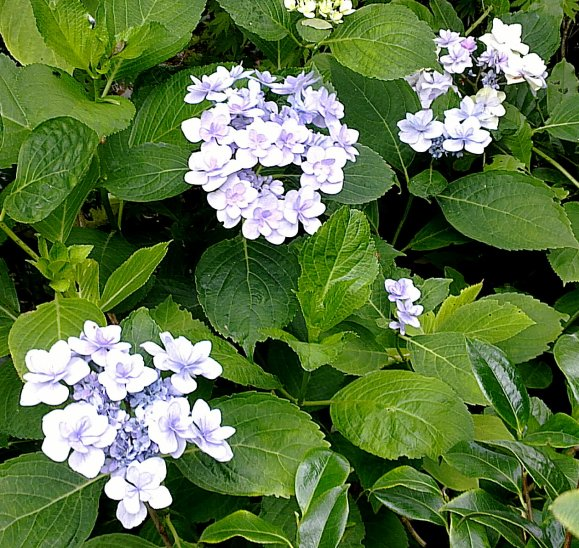 """Hydrangea macrophylla You and Me """"Forever""""..."""