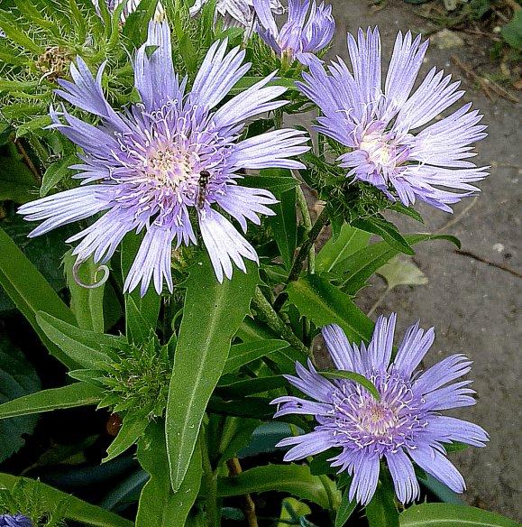 """Stokesia laevis """"Blue Star""""..."""