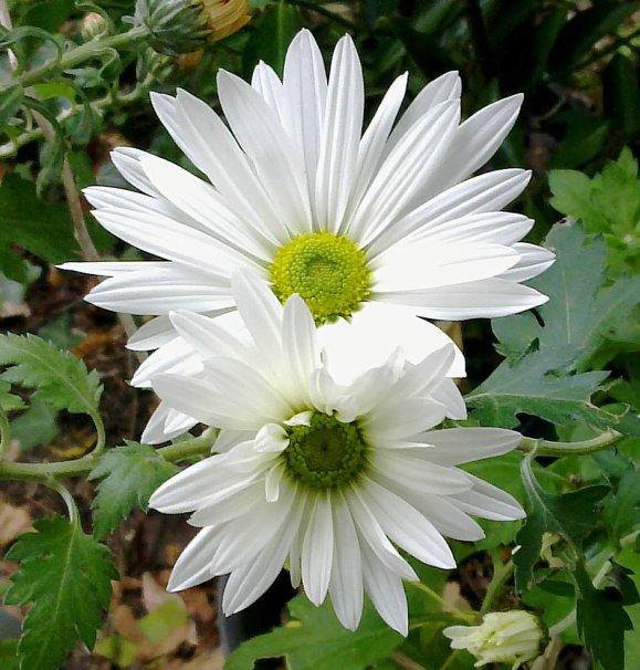 Le premier Chrysanthème...