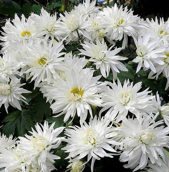 Nouveaux Chrysanthèmes de ce mois-ci...