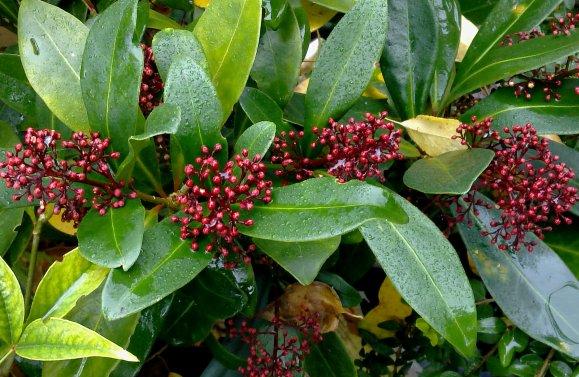 """Skimmia japonica """"Rubella""""..."""