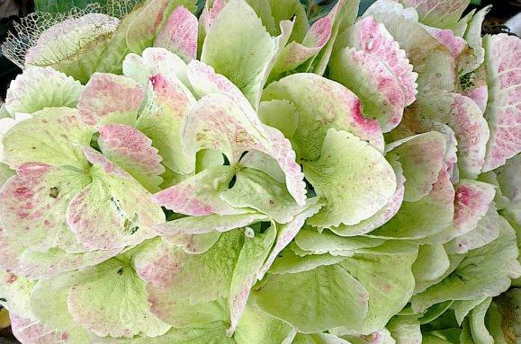 Hydrangea macrophylla blanc...