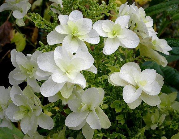 "Hydrangea quercifolia  ""Snow Flake"" ..."