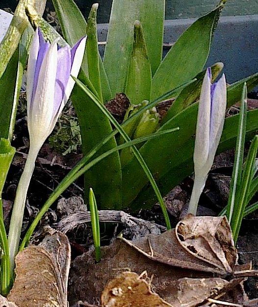 Après le froid sibérien... premières Fleurs...
