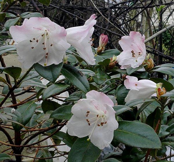Rhododendron 'Cilpinense' ...
