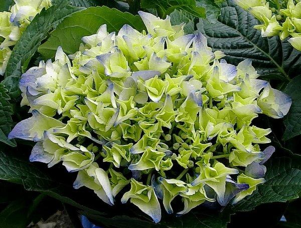 Hydrangea macrophylla 2012...