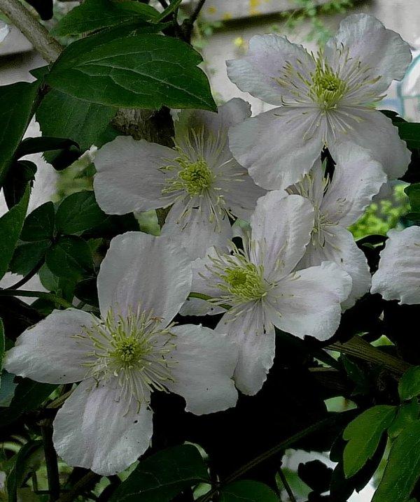 Clématite montana  'Mayleen'...