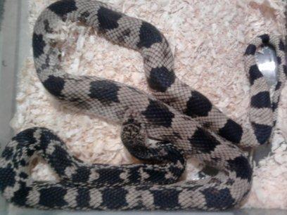 ma femelle repro melanoleucus serpent taureau