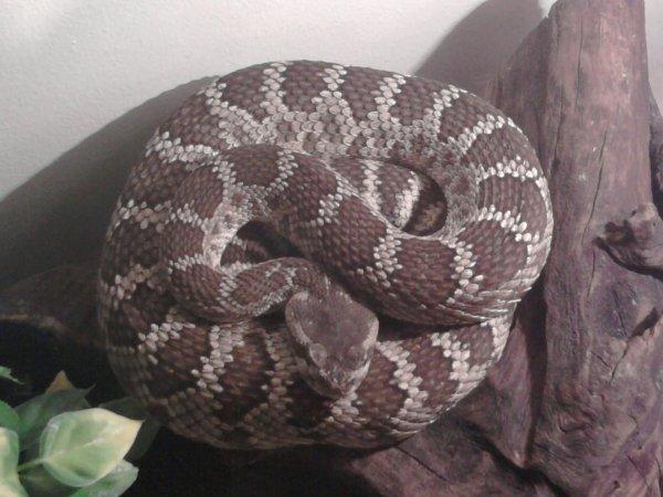 serpent a sonnette (crotalus oreganus)
