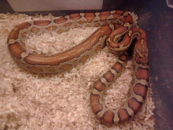 nouvelle femelle repro aztec motelet phase caramel