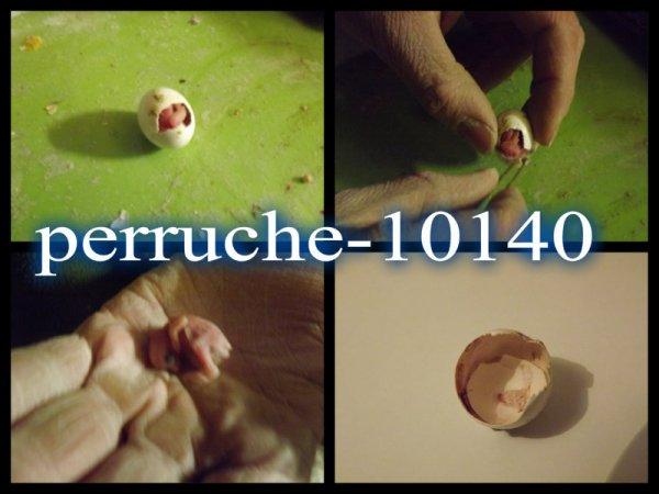 naissance d'un bb perruchon