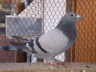 DE L OR POUR UN BRAVE  ( le pigeon ) L AS D OR