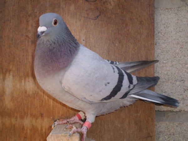 L AS PIGEONNE DE CALONNE 2010 LA 322469/10  BLEUE