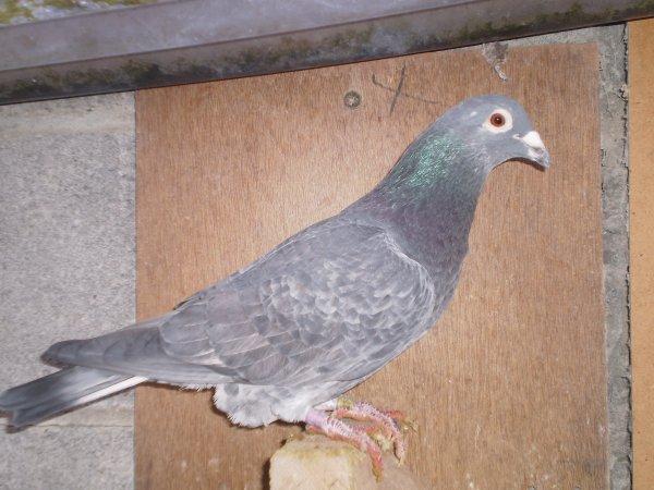 Le Koulé  du pigeonnier  le  027850/02 mosaique foncé et sa femelle  du ( JANSSEN )