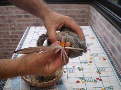 UNE PLUME pour baguer vos pigeonneaux avec du liquide vaisselle