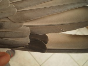 Un Veuf avec la 8 et 9 ème plume de KC le 24 / 04 / 12 Un frère de mon Espagnol