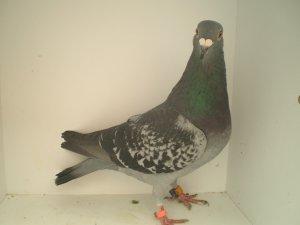 1 er de Billy Berclau a vx / 1562 pigeons de Jarnac au Alc Calc du 09/06/12 a vx et  Un an
