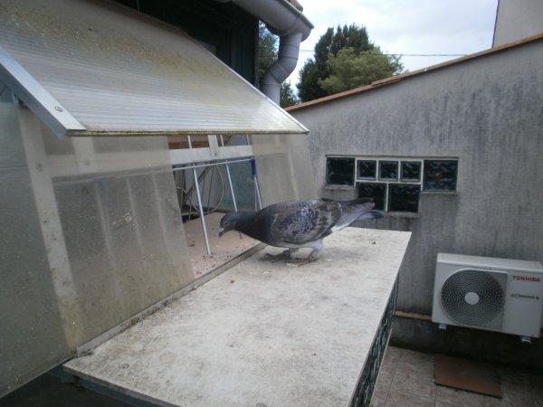 2  pigeons de retour ce 01/09/14 de Limoges du 24/08/14 // un autre ce 02/09/14