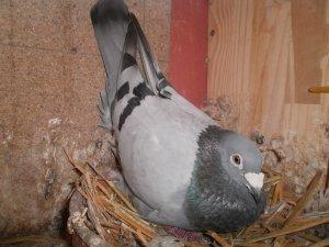 Achat d un des As pigeon en 2011 au Fédéraux de Béthune a un An a Mr Decalf J Pierre