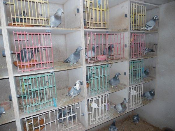 Accouplement de mes 52 Veufs ce 16 et 15 Janvier 2015