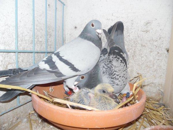 deux Femelles accouplées élèvent un jeune