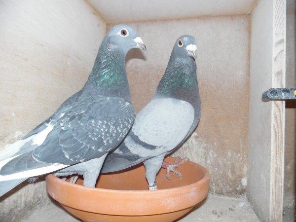 Accouplement de mon pigeonnier des Veufs du Calc ce vendredi 08/01/16
