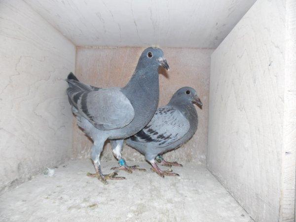"""La Calc C L """" achat a la Vente de Pigeons """""""