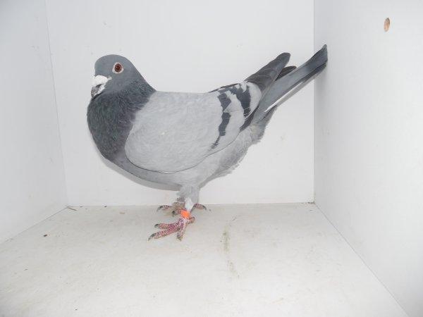 Pigeons achetés chez Romuald Griboval  et 4 paniers