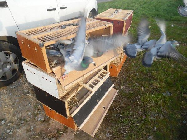 """2ème entrainements de 109 pigeons Veufs et Célibataires Males """"10km trajet voiture"""""""