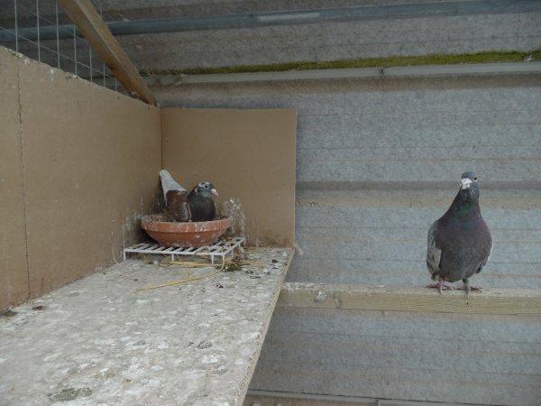 """Un couple de Hagens dans un de mes Box ce 10/03/18 """" Des Meuniers """" Elle a Pondu"""