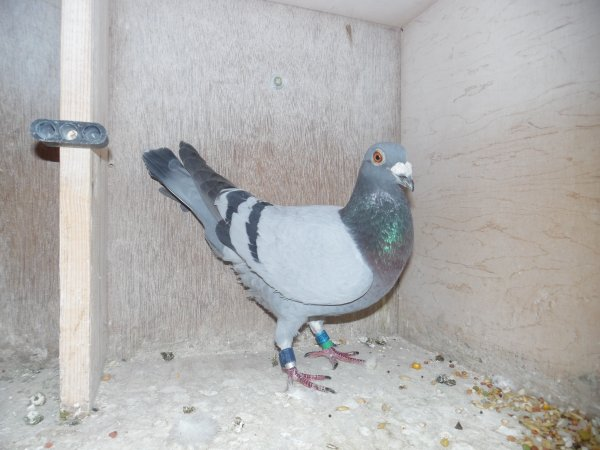 Mon 1er pigeon a St Vincent Inter ce 13 Juillet 2018 Mon Huch