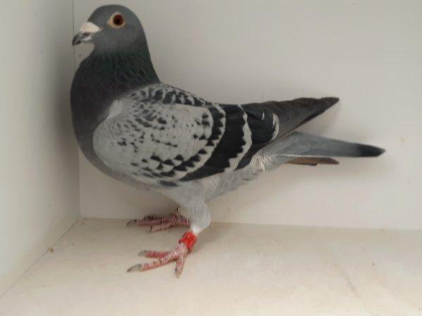 Mon Hutch 22 ème As Pigeon / 2 concours International Pipa 2018 / 500 Classés et 319ème a 1An une Femelle sur Perchoir