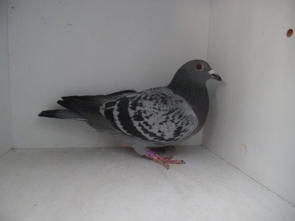 Vente : CFTT CANDOTTI – FRIMAT – TINCQ – TRUNET de MEURCHIN (62) :Vente Flash de 10 pigeons