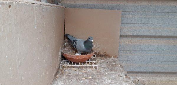 """Nouveau couple dans mes Box ce 10/05/19 """" Les Femelles ont Pondus """""""