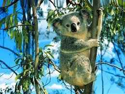 Le koala!