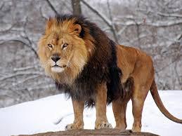Le lion!: